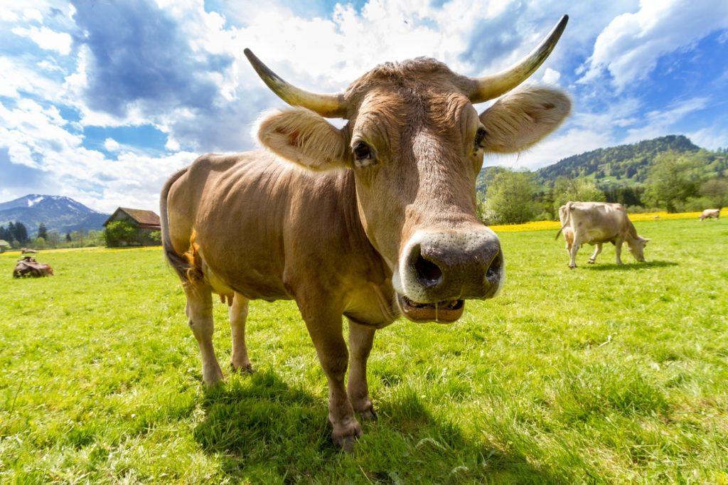 Tevreden koe in mooi landschap